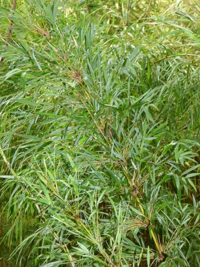 (24) Bambouseraie de Planbuisson - Le Buisson de Cadouin P1020310