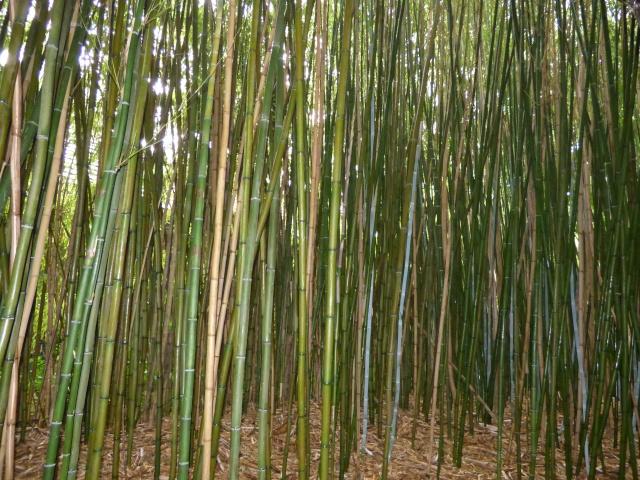 (24) Bambouseraie de Planbuisson - Le Buisson de Cadouin P1020311