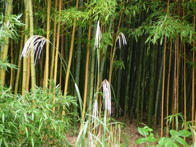 (24) Bambouseraie de Planbuisson - Le Buisson de Cadouin P1020313