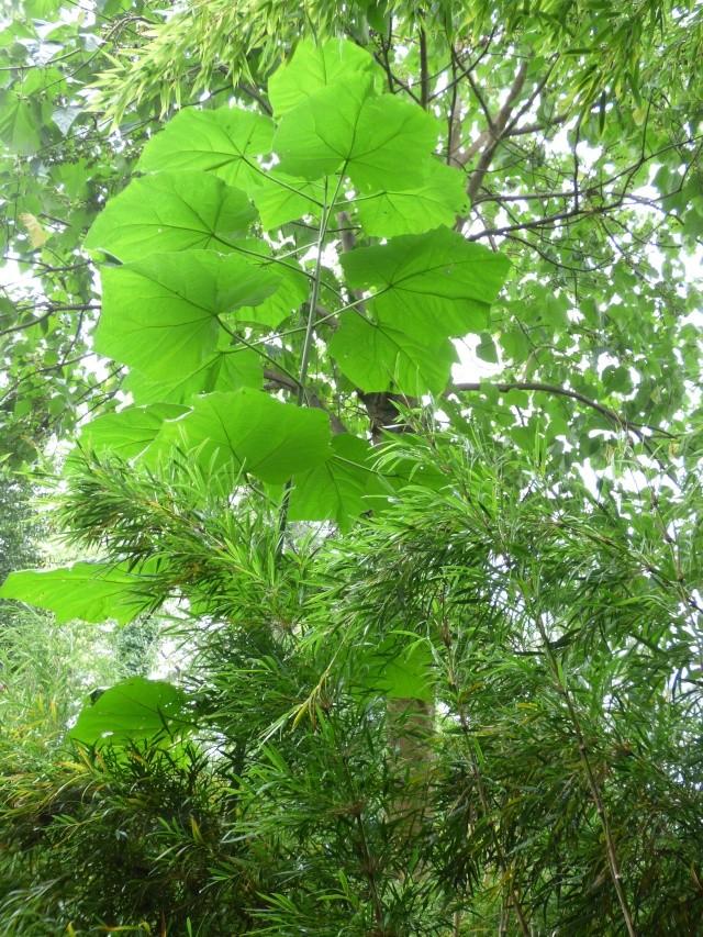 (24) Bambouseraie de Planbuisson - Le Buisson de Cadouin P1020314