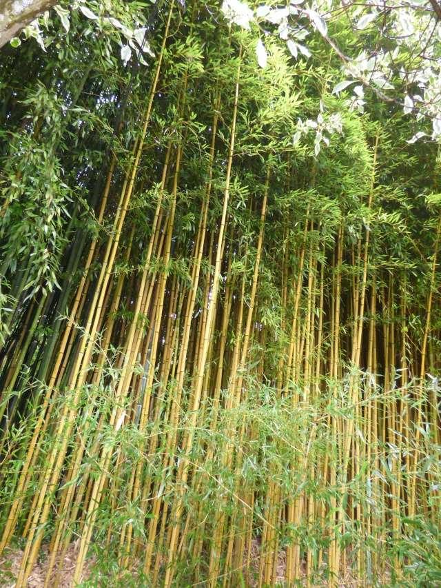 (24) Bambouseraie de Planbuisson - Le Buisson de Cadouin P1020410