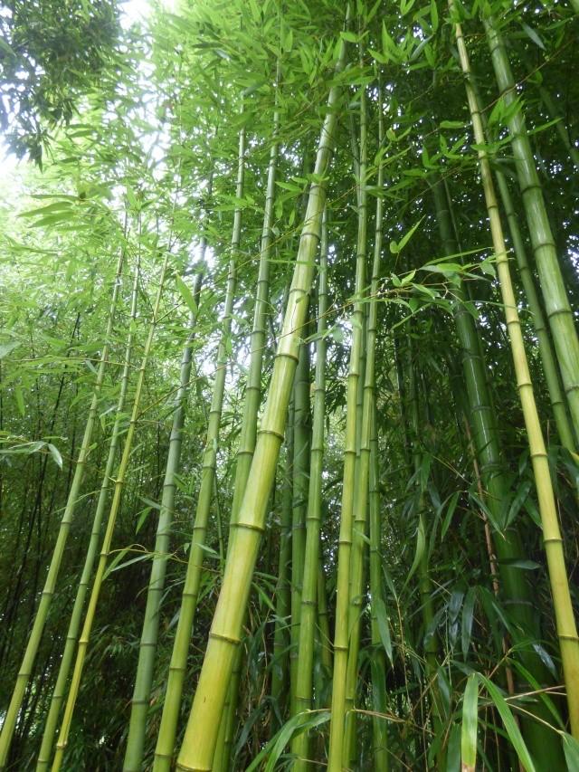 (24) Bambouseraie de Planbuisson - Le Buisson de Cadouin P1020412