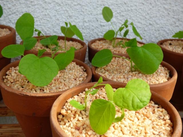 semis Passiflora morifolia et Bauhinia P1020715