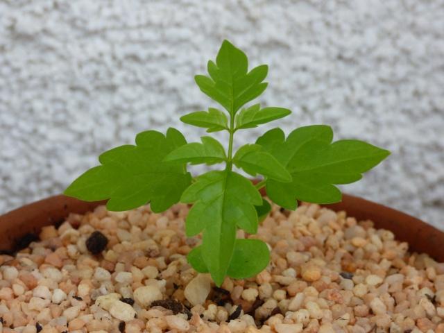 semis Passiflora morifolia et Bauhinia P1020716