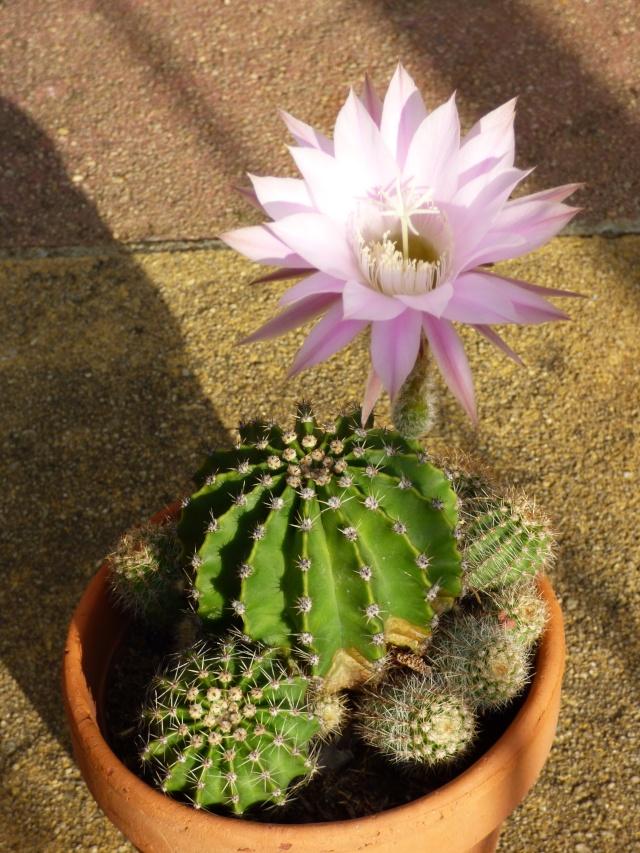 Echinopsis oxygona (= Echinopsis eyriesii v. grandiflora) P1030310