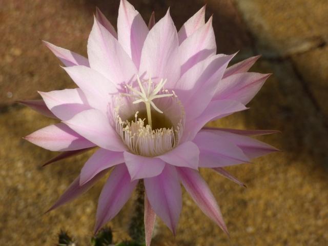 Echinopsis oxygona (= Echinopsis eyriesii v. grandiflora) P1030311