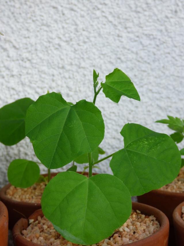 semis Passiflora morifolia et Bauhinia P1030413