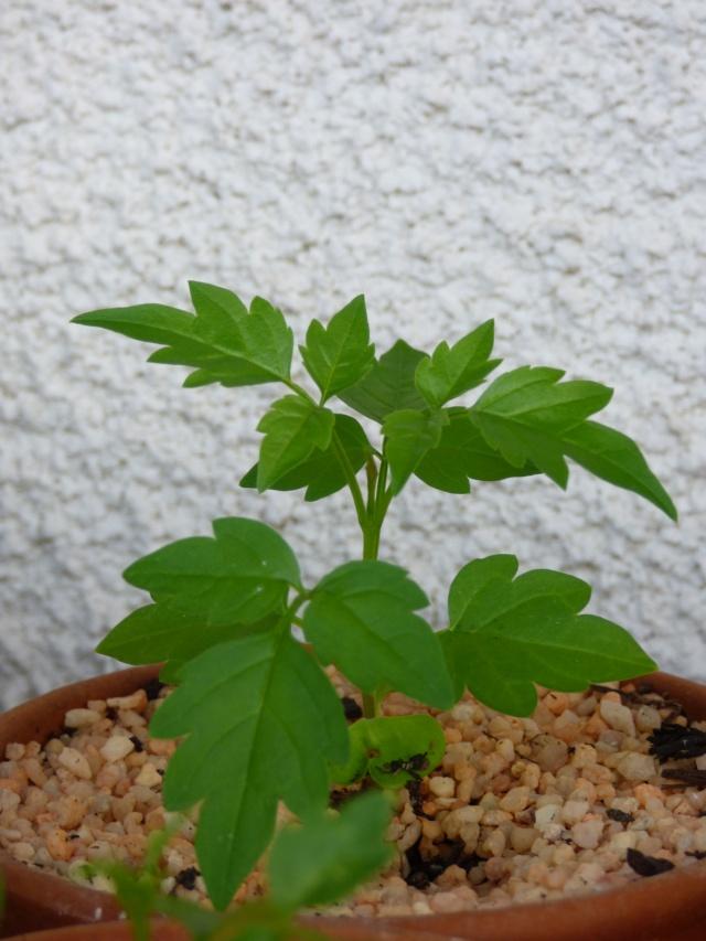 semis Passiflora morifolia et Bauhinia P1030414