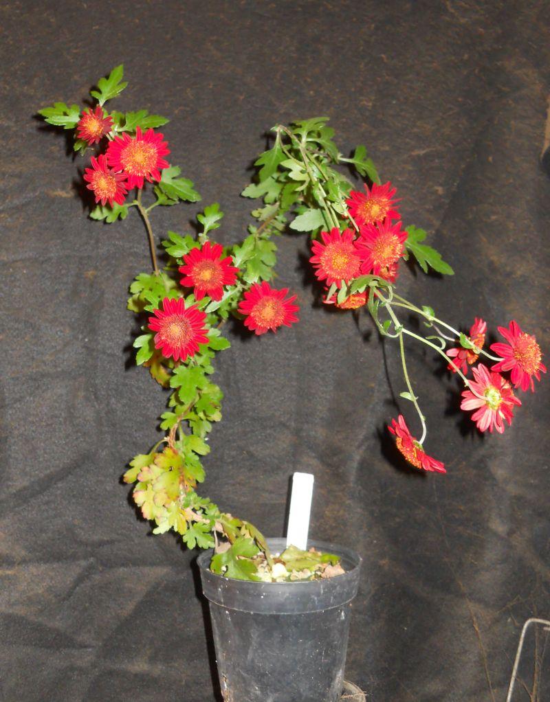 Chrysanthemums for Bonsai or Kusamono Dscn4110