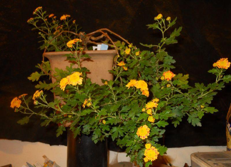 Chrysanthemums for Bonsai or Kusamono Hatsum10