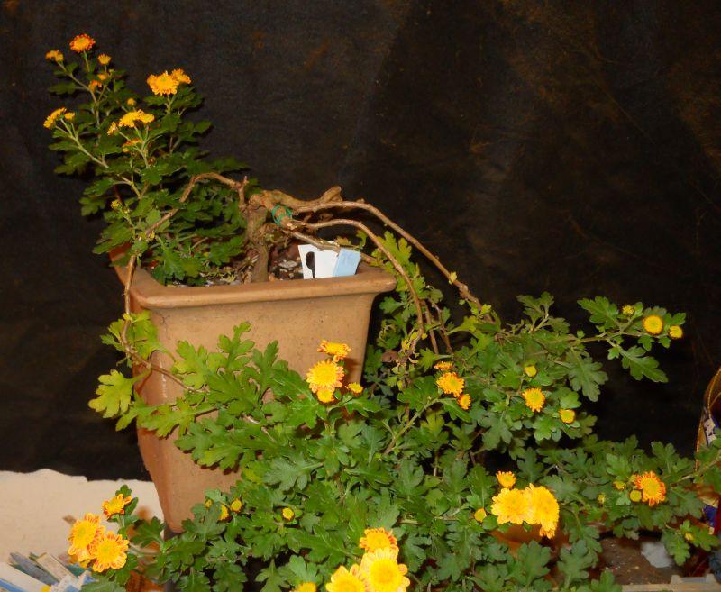 Chrysanthemums for Bonsai or Kusamono Hatsum11