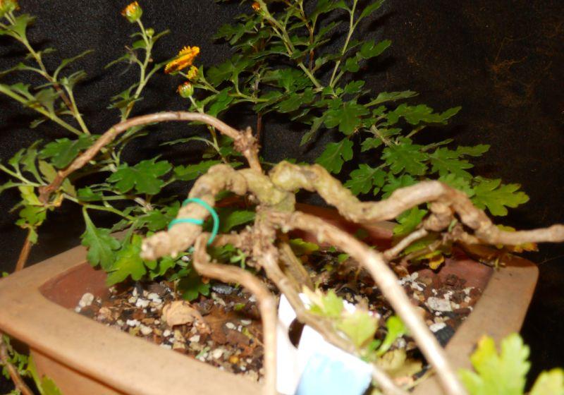 Chrysanthemums for Bonsai or Kusamono Hatsum12