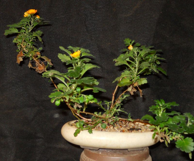Chrysanthemums for Bonsai or Kusamono Koto-n10