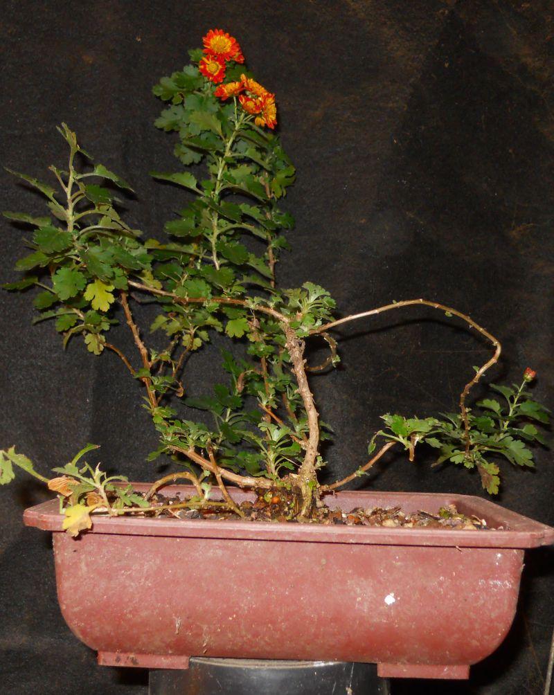 Chrysanthemums for Bonsai or Kusamono Koto_n10