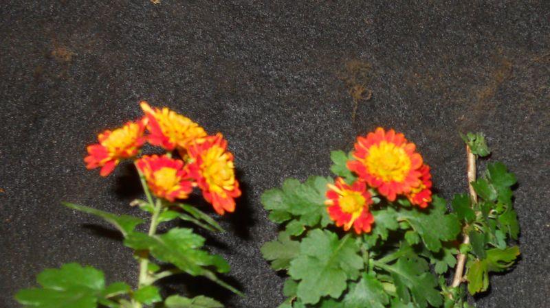 Chrysanthemums for Bonsai or Kusamono Koto_n11