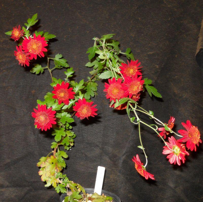 Chrysanthemums for Bonsai or Kusamono Kurume10