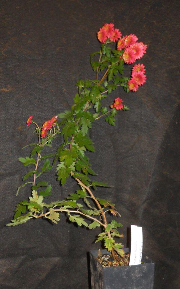 Chrysanthemums for Bonsai or Kusamono Rose_m10