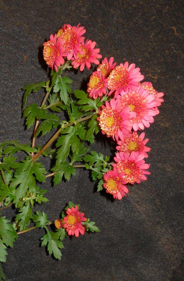 Chrysanthemums for Bonsai or Kusamono Rose_m12