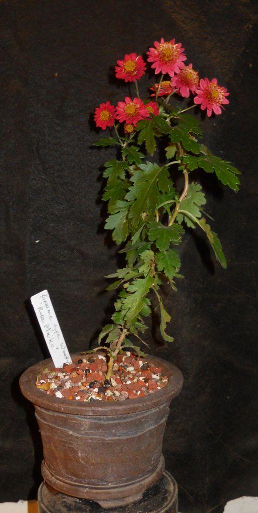 Chrysanthemums for Bonsai or Kusamono Rose_m13