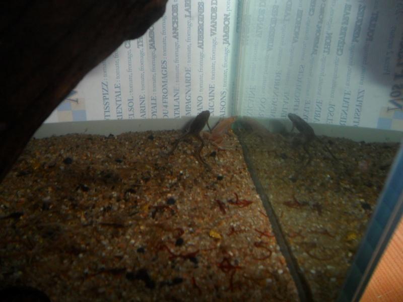 Mes grenouilles de petites tailles Sam_3515