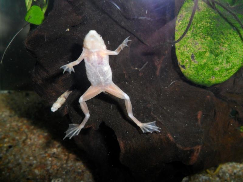Mes grenouilles de petites tailles - Page 2 Sam_3616