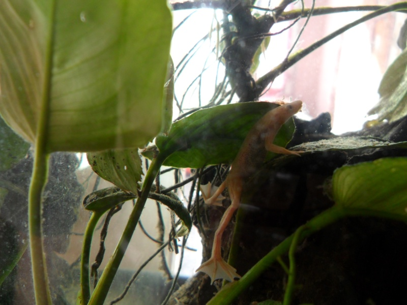 Mes grenouilles de petites tailles - Page 3 Sam_3734