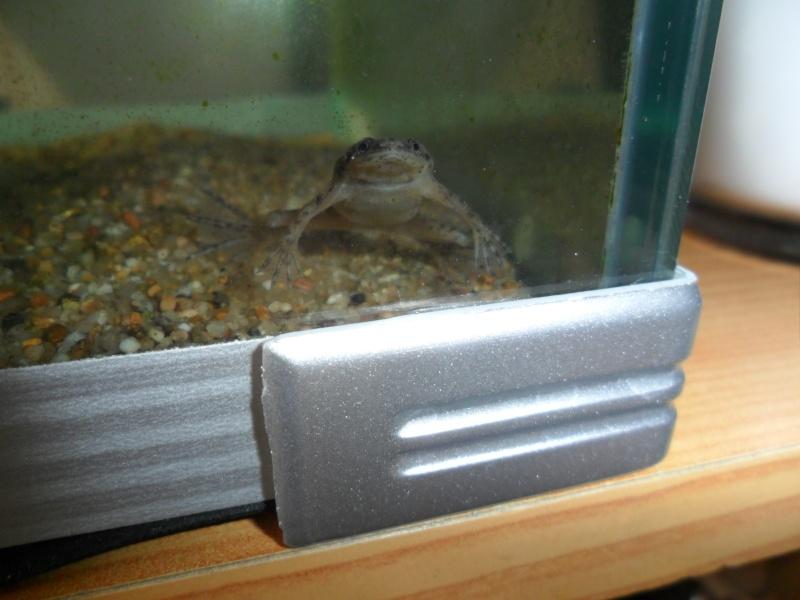 Mes grenouilles de petites tailles - Page 3 Sam_4020