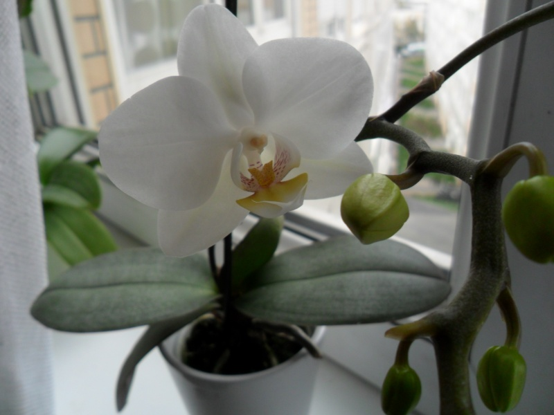 Mes orchidees - Page 2 Sam_4330