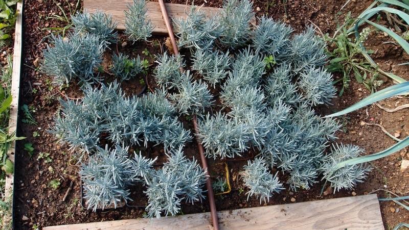 cultiver la lavande dans le jardin et en pot Pa088613