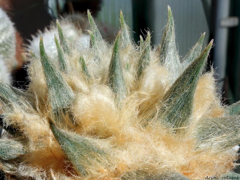 Ariocarpus trigonus var. horacekii 9_201511