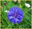 Цветы в мире магии Iae10