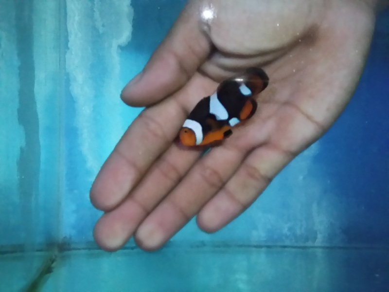 NEW STOK PREMIUM CLOWNFISH 20150915