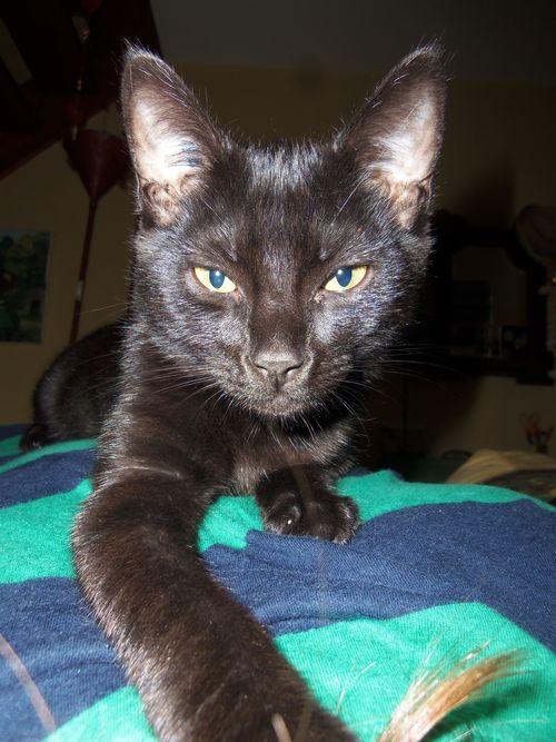 LEWIS, chaton noir, né le 06/05/15 100_8610