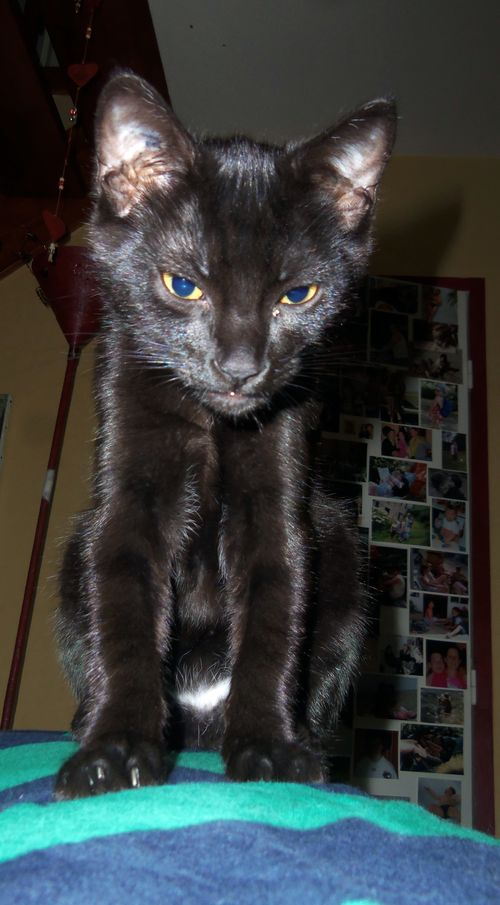LEWIS, chaton noir, né le 06/05/15 100_8613