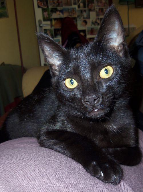 LEWIS, chaton noir, né le 06/05/15 100_8616