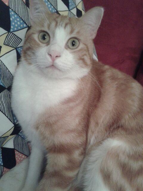 IDRIS, chat roux tigré et blanc, né le 01/07/2013 20150110