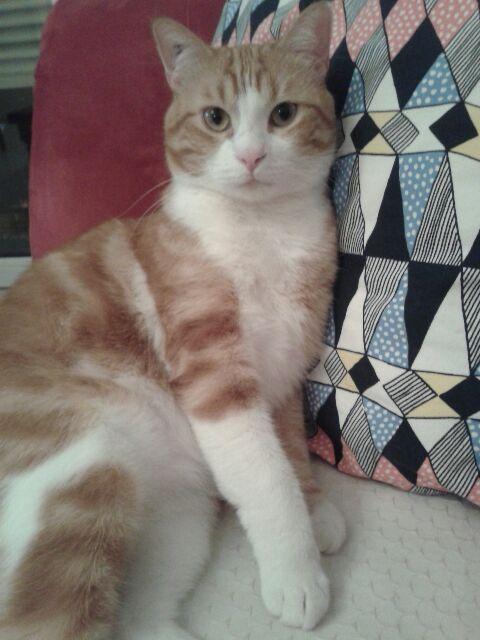IDRIS, chat roux tigré et blanc, né le 01/07/2013 20150111