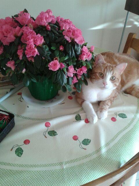 IDRIS, chat roux tigré et blanc, né le 01/07/2013 20150210