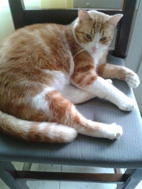 IDRIS, chat roux tigré et blanc, né le 01/07/2013 20150310