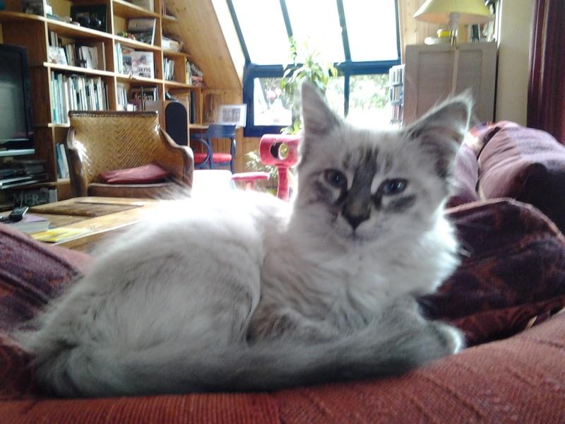 Loreleï, chatonne européenne, née en juillet 2015. 20151012