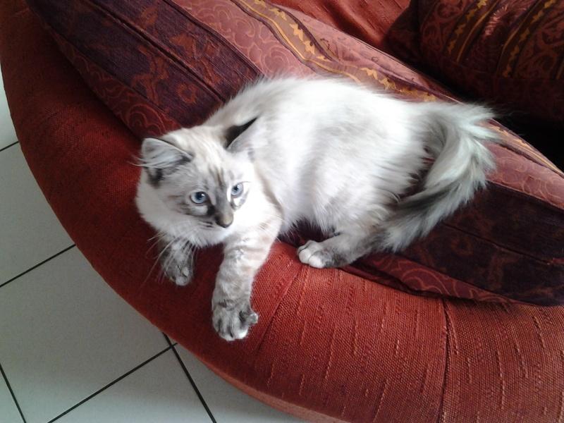 Loreleï, chatonne européenne, née en juillet 2015. 20151014