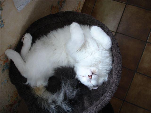 LOUKOUM, chaton Européen  blanc tacheté, à poils longs, né le 20/03/2015 Dsc01011