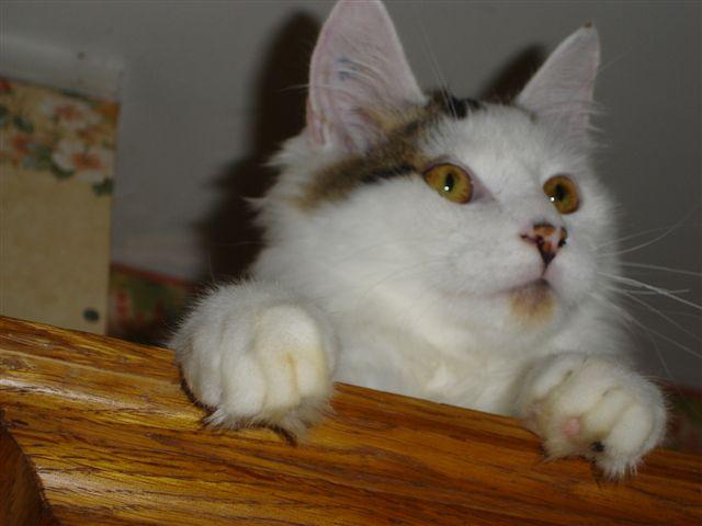 LOUKOUM, chaton Européen  blanc tacheté, à poils longs, né le 20/03/2015 Dsc01013