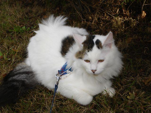 LOUKOUM, chaton Européen  blanc tacheté, à poils longs, né le 20/03/2015 Dsc01014