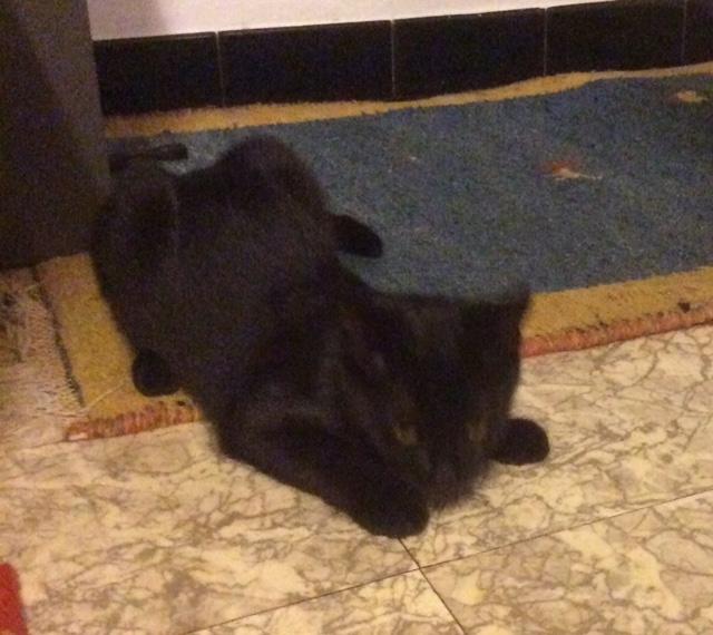 Lutine, chatonne noire de type européen, née le 20/04/2015 Image210