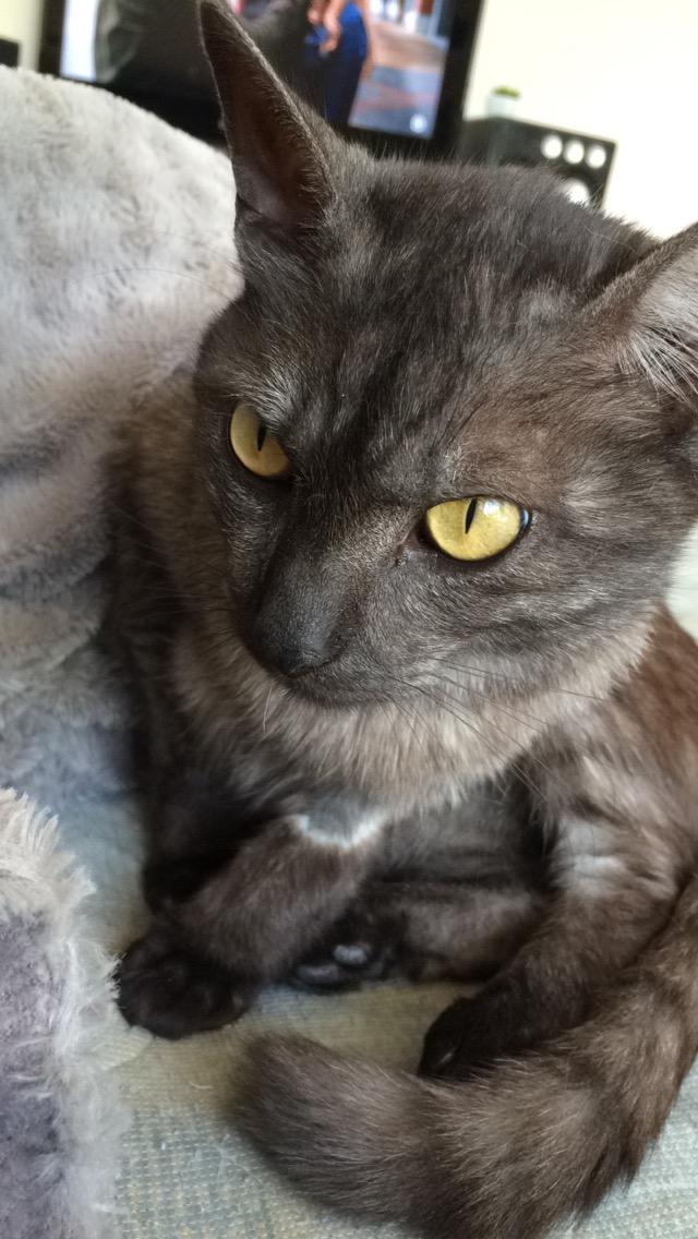 LIXOU, jeune chat européen, robe smoke, né en janvier 2015 Lixou210