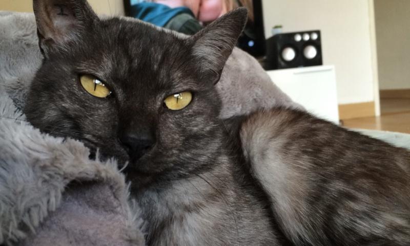 LIXOU, jeune chat européen, robe smoke, né en janvier 2015 Lixou410