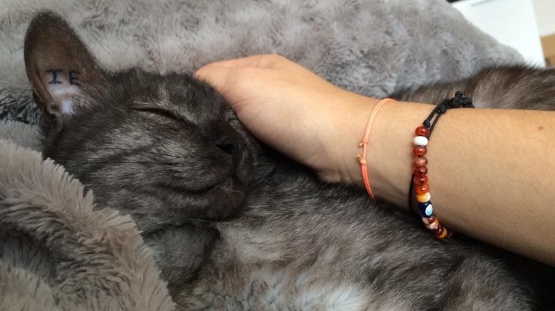 LIXOU, jeune chat européen, robe smoke, né en janvier 2015 Lixou510