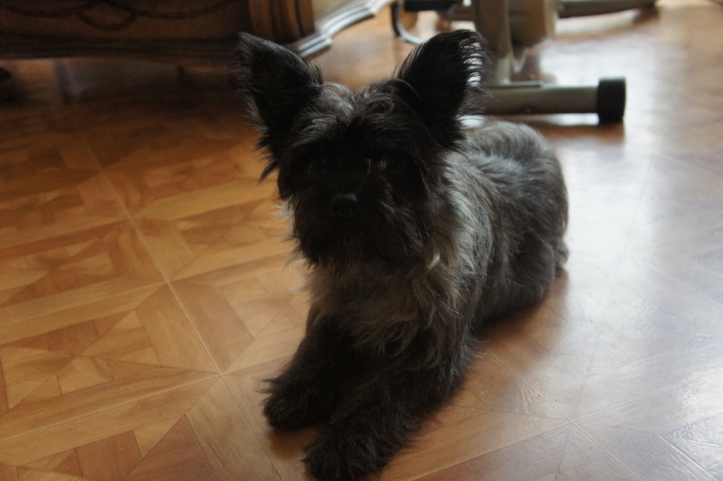 EWOK: mâle croisé cairn terrier né env 2012 - Pascani - adopté par Christine (dpt67) - Page 2 Dsc02611