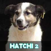 Grande campagne d'identification et vaccination à Pascani : ils ont besoin de vous ! - Page 6 Hatchi11